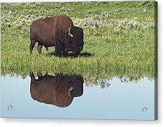 Bison Bison Bison On Grassy Meadow With Acrylic Print by David Ponton
