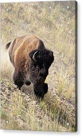 Bison Bull Acrylic Print