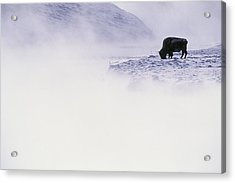 Bison Grazing In Winter Acrylic Print by Bobby Model