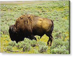 Bison Acrylic Print by Jeff Swan