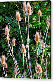 Bittersweet And Thistles Acrylic Print by Mindy Newman