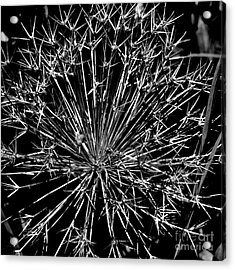 Black And White Allium  2 Acrylic Print by Tanya  Searcy