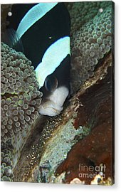 Black And White Anemone Fish Looking Acrylic Print by Mathieu Meur