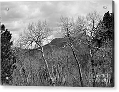 Black And White Aspen Acrylic Print