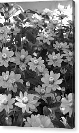 Black And White Flowers Acrylic Print by Amy Fose