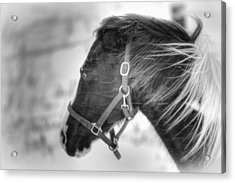 Black And White Horse Portrait Acrylic Print by Gary Smith