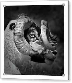 Black And White Image Of Ram Acrylic Print by Colin Campbell