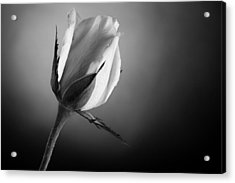Black And White Soft Rose Acrylic Print by M K  Miller