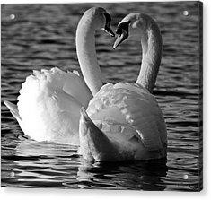 Black And White Swan Heart Acrylic Print by Geraint Rowland