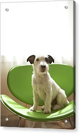 Black And White Terrier Dog Sitting On Green Chair By Window Acrylic Print by Chris Amaral