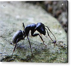 Acrylic Print featuring the photograph Black Ant 2 by Chad and Stacey Hall