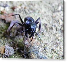 Acrylic Print featuring the photograph Black Ant by Chad and Stacey Hall