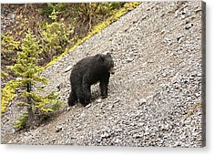 Black Bear 1893 Acrylic Print by Larry Roberson