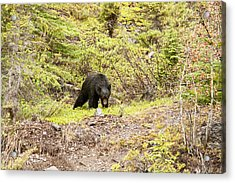 Black Bear 1899 Acrylic Print by Larry Roberson