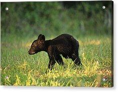 Acrylic Print featuring the photograph Black Bear Cub  by Doug McPherson