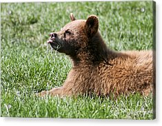 Black Bear Cub I Acrylic Print