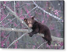 Black Bear Cub On Branch Acrylic Print by Alan and Sandy Carey and Photo Researchers