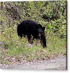Black Bear Acrylic Print by Mark Caldwell