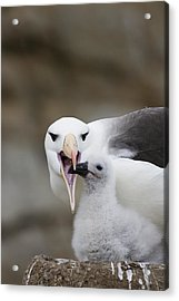 Black Browed Albatross Preparing Acrylic Print by Suzi Eszterhas