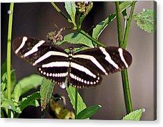 Black Butterfly Acrylic Print by Joe Faherty