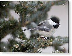 Black-capped Chickadee, Poecile Acrylic Print by John Cancalosi