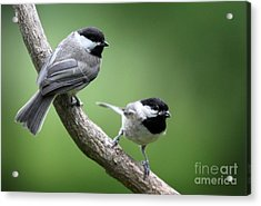 Acrylic Print featuring the photograph Black-capped Chickadees by Jack R Brock