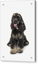 Black Cocker Spaniel With Golden Boots Acrylic Print by Corey Hochachka