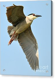 Black Crown Night Heron Acrylic Print