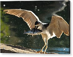 Black-crowned Night Heron Acrylic Print by Dung Ma