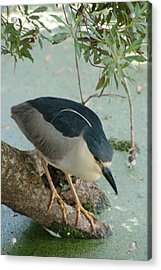 Black Crowned Night Heron Acrylic Print by Peg Toliver