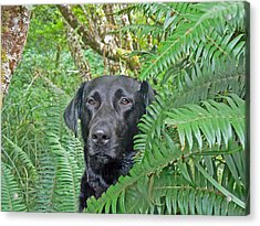 Black Dog In The Ferns Acrylic Print by Pamela Patch