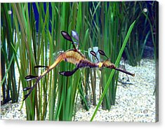 Acrylic Print featuring the photograph Black Dragon Seahorse by Carla Parris