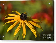 Black-eyed Susan 2 Acrylic Print by Sharon Talson