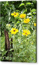 Black Eyed Susan I Acrylic Print by Mike Lytle