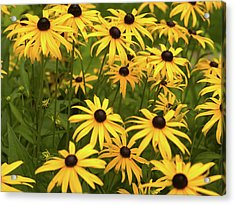Black-eyed Susans Acrylic Print by Stanley French