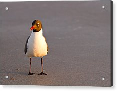Black Headed Gull Acrylic Print