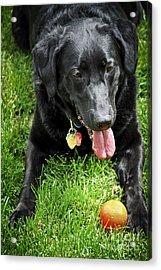 Black Lab Dog With A Ball Acrylic Print