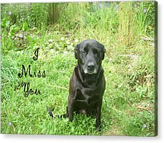 Black Lab Miss You Acrylic Print by Aimee L Maher Photography and Art Visit ALMGallerydotcom