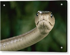 Black Mamba Dendroaspis Polylepis Acrylic Print by George Grall
