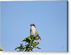 Acrylic Print featuring the photograph Black Mask Bird by Jeanne Andrews