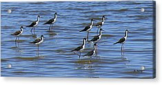 Acrylic Print featuring the photograph Black-neck Stilt Dressed In Their Best by Roena King