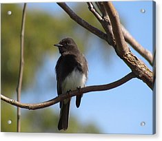 Acrylic Print featuring the photograph Black Phoebe by Bonnie Muir