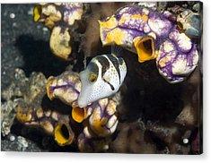 Black-saddled Pufferfish Acrylic Print by Georgette Douwma