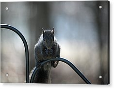 Black Squirrel  Acrylic Print by Karol Livote