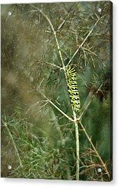 Black Swallowtail Butterfly Larva In Bronze Fennel Acrylic Print