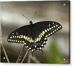 Black Swallowtail Din103 Acrylic Print