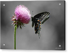 Black Swallowtail With Thistle Acrylic Print