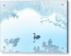 Black Swan Floating On Mist Lake Acrylic Print by Lawren