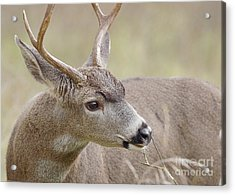 Acrylic Print featuring the photograph Black-tailed Deer by Doug Herr
