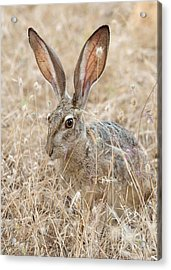 Acrylic Print featuring the photograph Black-tailed Hare by Doug Herr